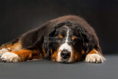 Foto Hüss - Portrait - Tiere - Studio - Hund - Berner Sennenhund
