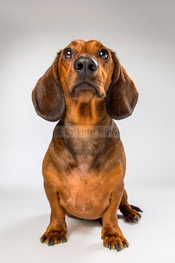 Foto Hüss - Portrait - Tiere - Studio - Hund - Dackel