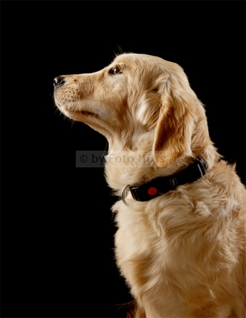 Foto Hüss - Portrait - Tiere - Studio - Hund - Golden Retriever