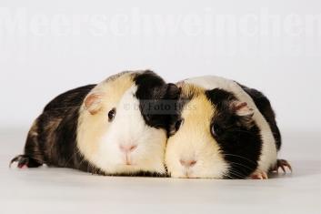Foto Hüss - Portrait - Tiere - Studio - Meerschweinchen