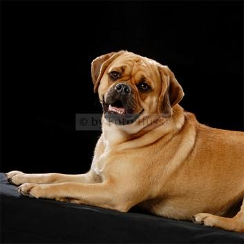 Foto Hüss - Portrait - Tiere - Studio - Hund